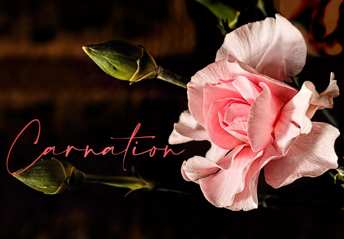 Carnations symbolise fascination, distinction, and love. Carnation is available in colours pink, yellow, white, green, and red. This flower is a must-have floral gift because it never fails to brighten up the lucky recipient.