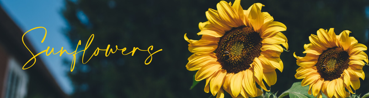 Take one look at a gathering of sunflowers and it's not hard to see why these flowers attract so much attention. We are proud to offer a selection of unique sunflower bouquets online. We want you to enjoy our beautiful sunflowers.