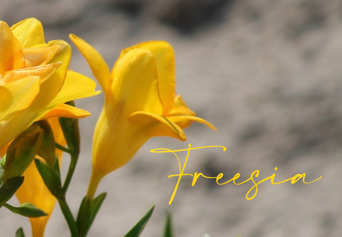 You're looking for a beautiful flower bouquet and is naturally scented? Well, we have freesia flower bouquets that will freshen up your mood because of its natural fragrance. Grab yours now and give this fragrant flower bouquet to your special someone.