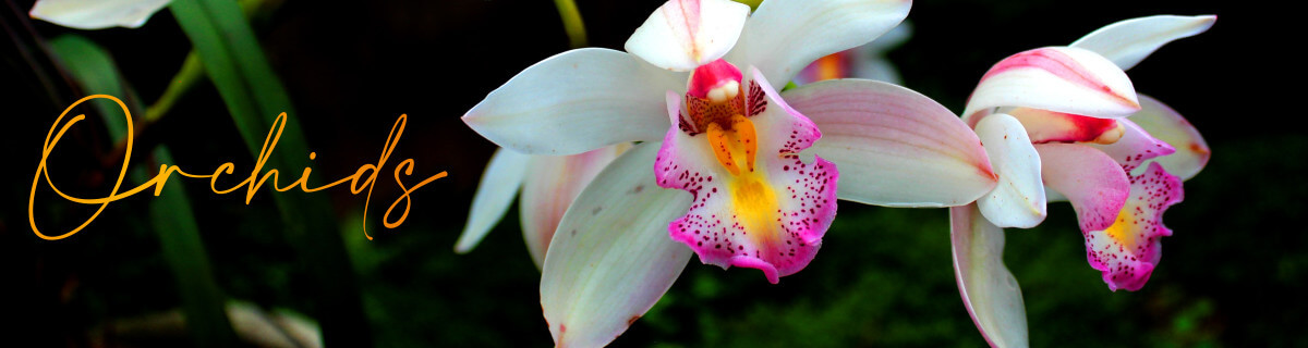 Dazzlingly exotic, orchids are versatile exquisite gifts with the special bonus of life span. Send orchids and brighten up someone's day with a gift that lasts. If you're lost for words, let our stunning orchid plants do the talking for you.