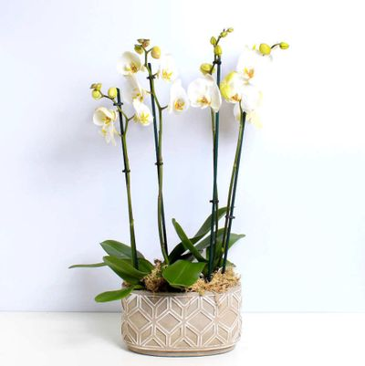 White Orchid Planter is a decent kind of plant that is very pleasant to see because of its innocent aura. It makes the home feel peace and liberty.