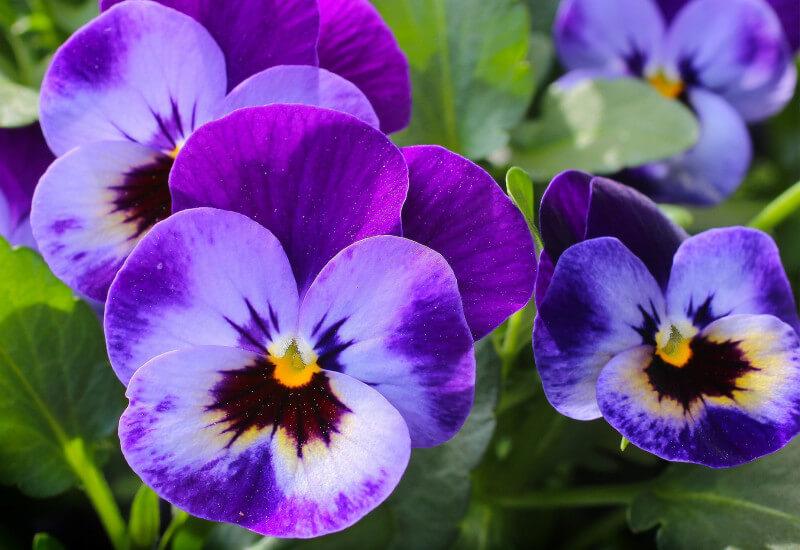 Violets : Quiet But Loyal Banner