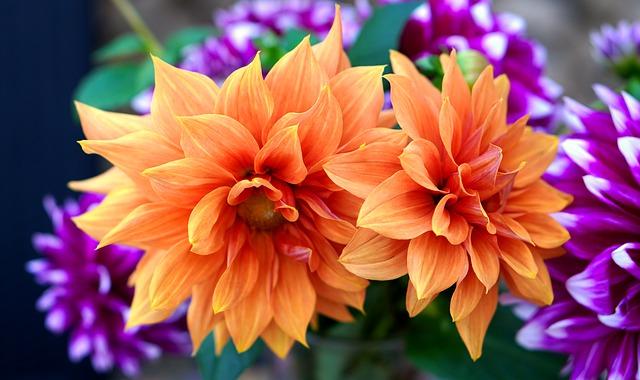Dahlias Popular Flower in UK Banner