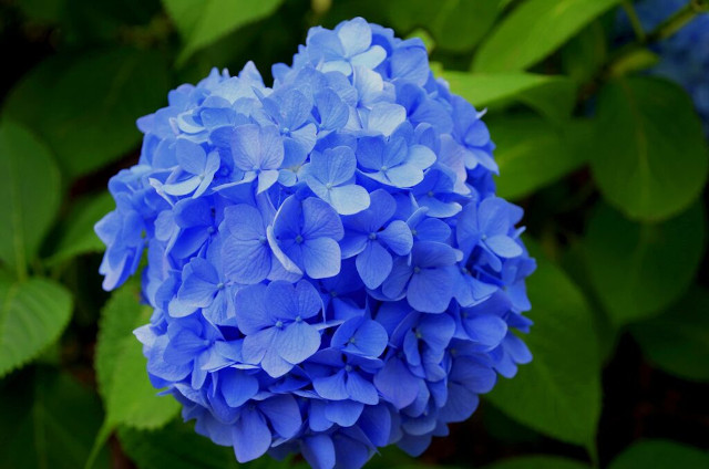 Hydrangeas Popular Flower in UK Banner