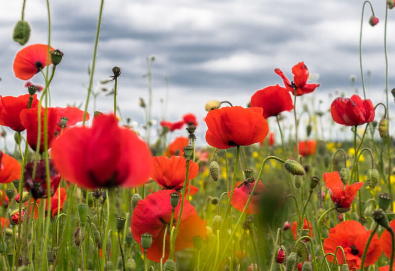 Poppies : Fun and Vibrant Banner