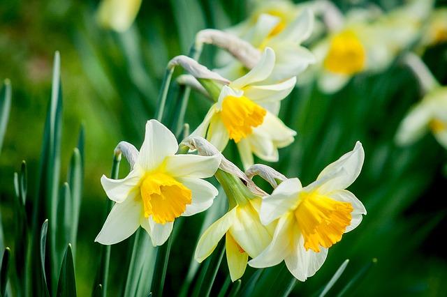 Daffodils Popular Flower in UK Banner