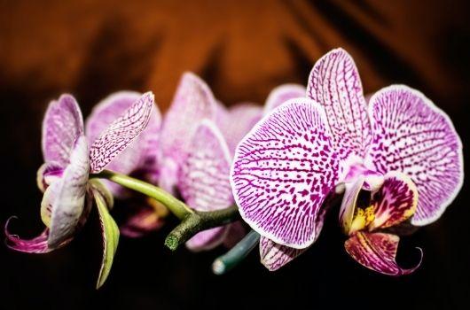 Phalaenopsis Orchid Christmas Banner