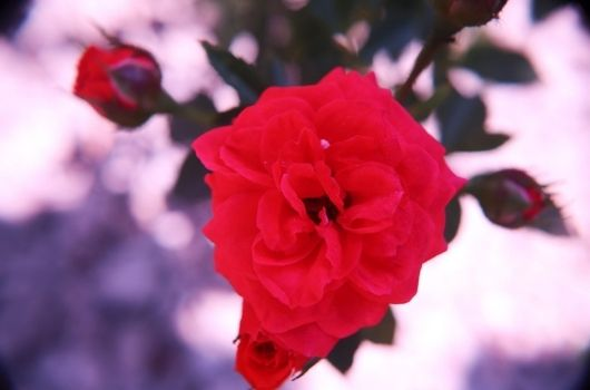 Spray Rose Christmas Banner