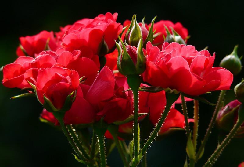 Rose : Timeless Classic Banner