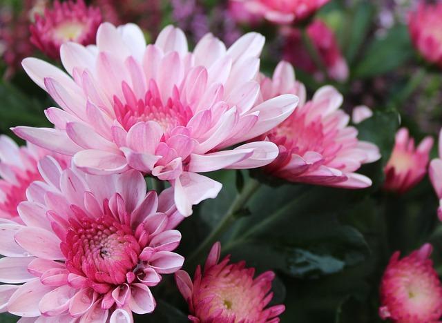 Chrysanthemums Popular Flower in UK Banner