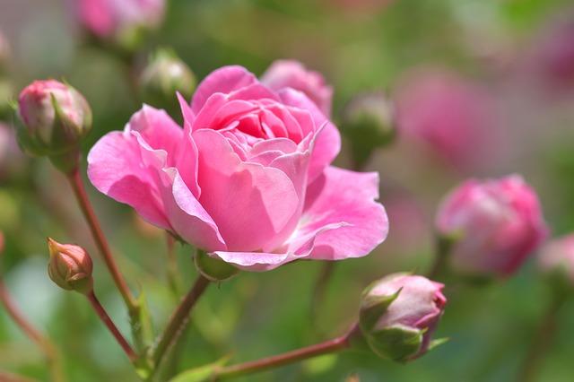 Roses Popular Flower in UK Banner