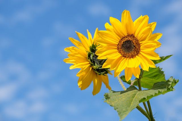 Sunflowers Popular Flower in UK Banner