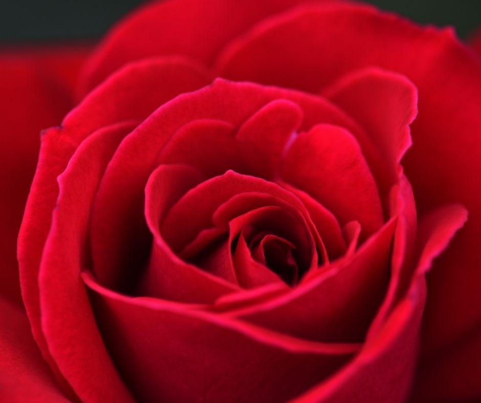 Rose Valentine contest Banner