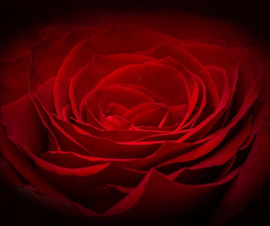 Valentine Rose Banner