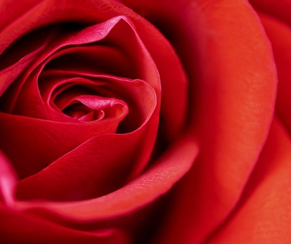 Valentine Red Rose Banner